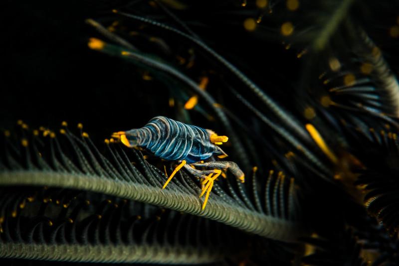 Crinoid (Feather Star) Shrimp