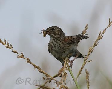Vesper Sparrows