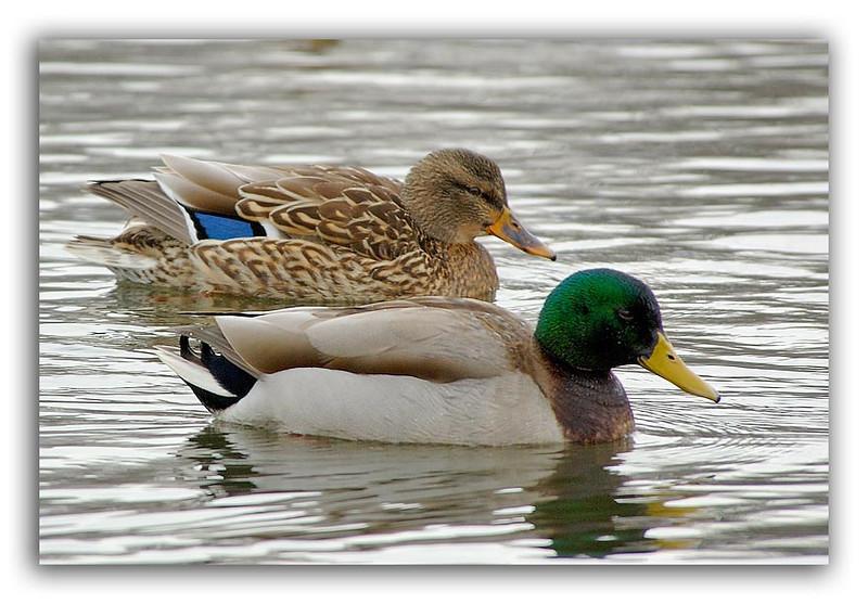 Pair of Ducks.jpg