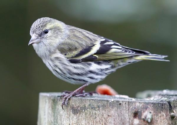 British birds of the woodland & countryside