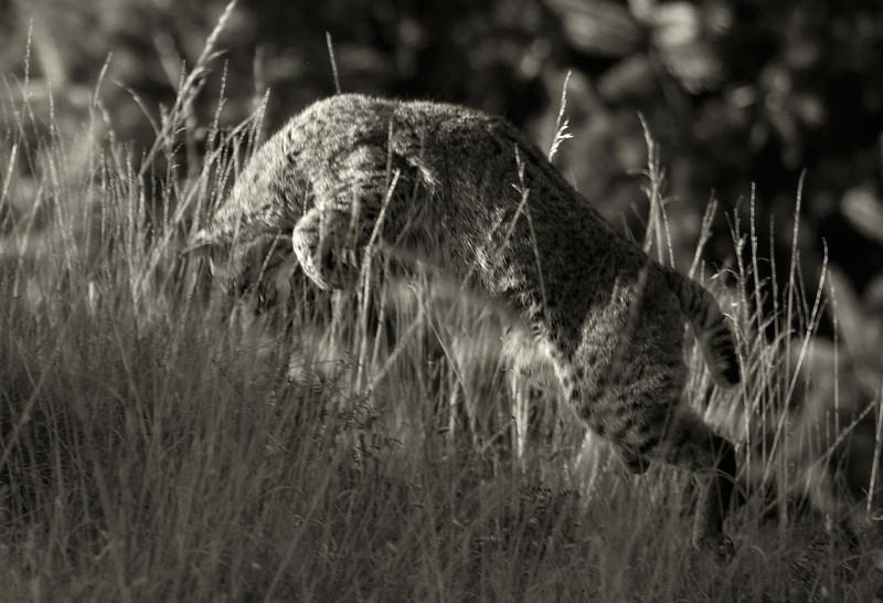 Bobcat, 01.11.09 - Marin County