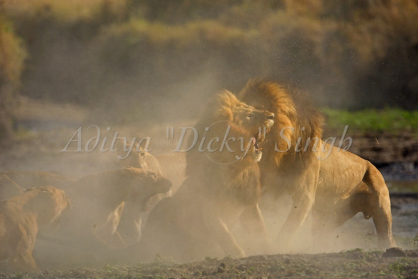 lion fight