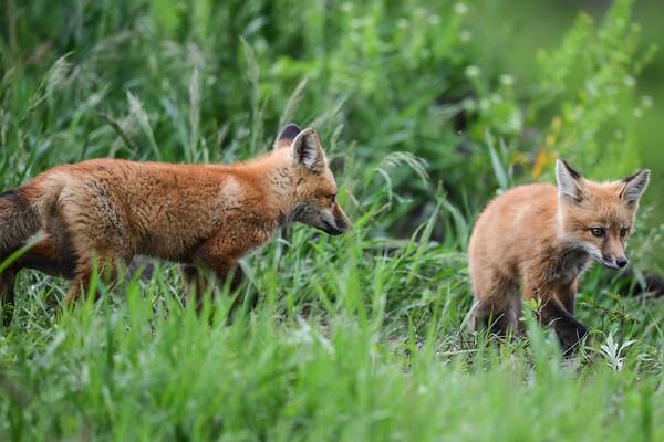 6-9-17 Red Fox Pups Album 2/3