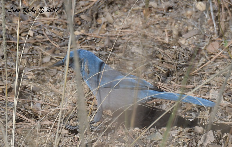 Woodhouse's Scrub Jay - 10/28/2017 - Wickwood Lane, Prescott, AZ