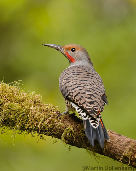 Northern Flicker Red Shafted, I don't think these are intergrades even though there is a red vee on the back of the neck, almost all of the red shafted flickers have that marking here, we do get a true intergrade every fall and it has the face markings of a red shafted and yellow shafting.