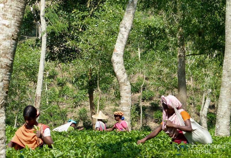 Picking Tea Outside Srimongal, Bangladesh
