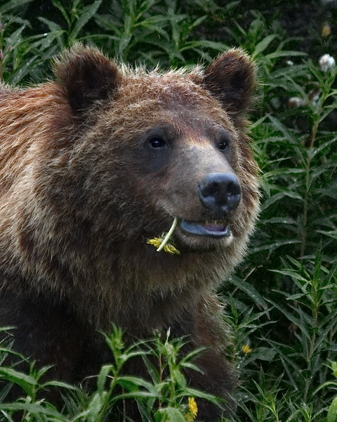 British Columbia, Brown (Grizzley) Bear, Haines Hwy