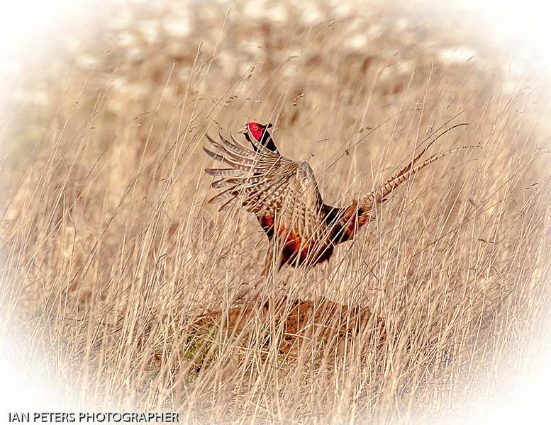 Pheasant-6608.jpg