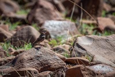 Sparrow-Lark, Grey-backed