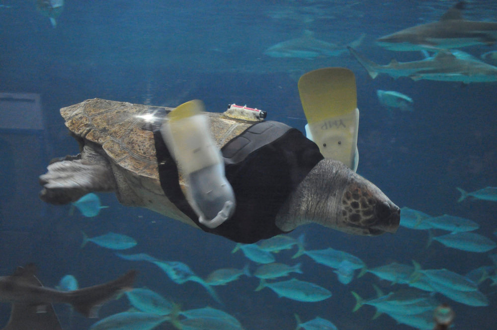 . A 25-year-old female loggerhead turtle named Yu swims after receiving her 27th pair of prosthetic flippers at the Suma Aqualife Park in Kobe, western Japan on February 11, 2013. Life looked grim for Yu, a loggerhead turtle, when she washed up in a Japanese fishing net five years ago, her front flippers shredded after a brutal encounter with a shark. Now keepers at an aquarium in the western Japanese city of Kobe are fighting to find a high-tech solution that will allow the 25-year-old turtle to swim again, with years of labors and 27 models of prosthetic fins behind them without success.  REUTERS/Suma Aqualife Park