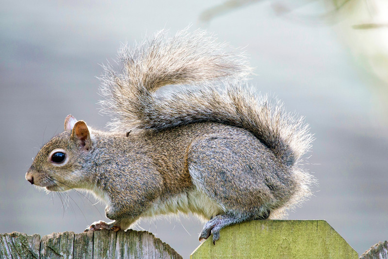 A squirrel hurries across the fence