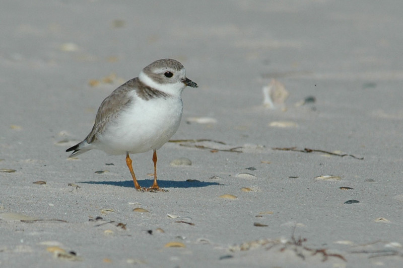 Plover - Piping - St. George Island State Park, FL - 02