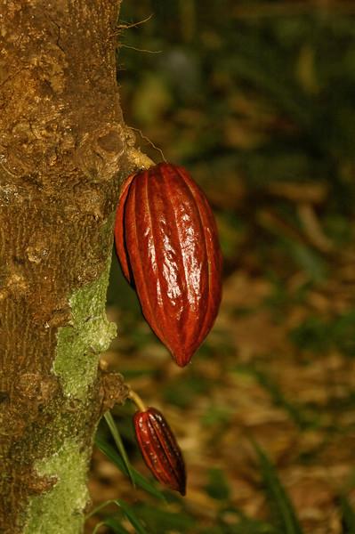 Cacao seed pod