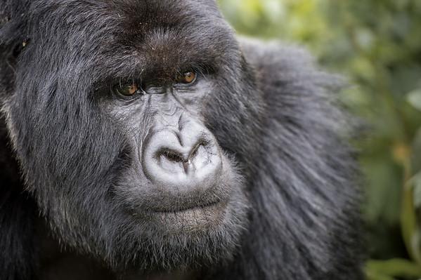 Gorilles du Rwanda