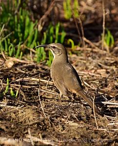 Mockingbirds-Thrashers