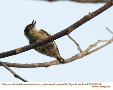 Olivacous Piculet M83424.jpg