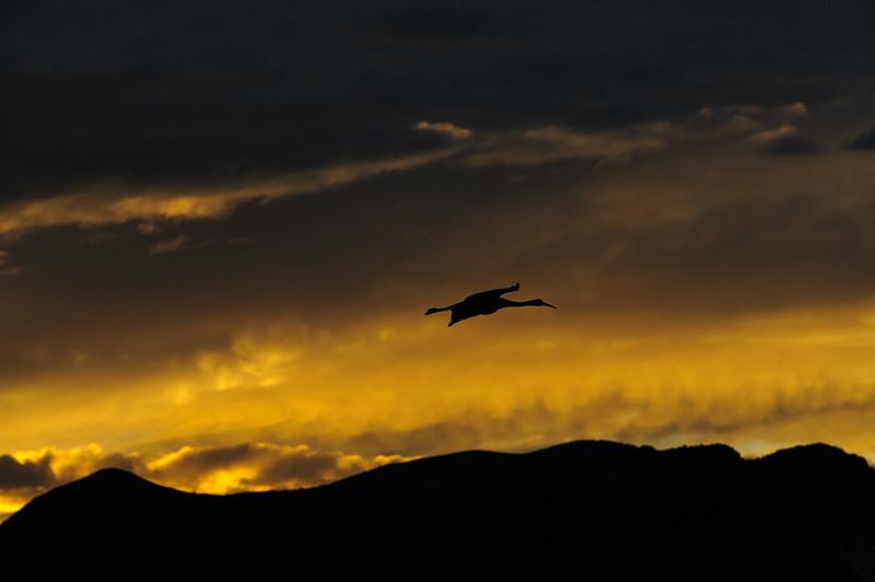 20111124 Bosque del Apache 484.jpg