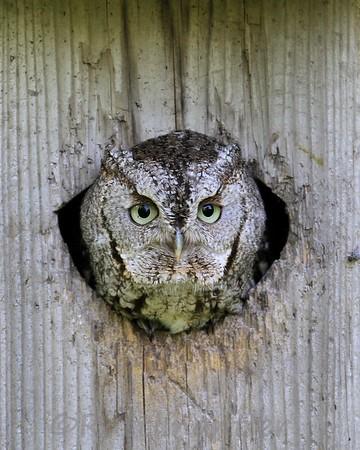 Eastern Screech-Owls