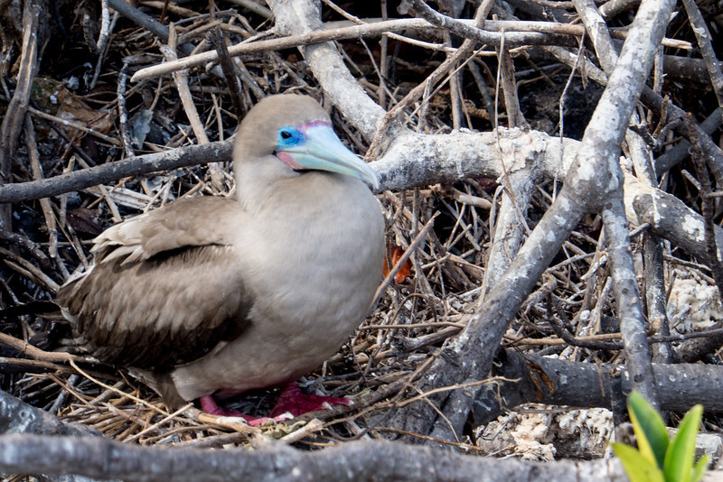 red footed booby baby.jpg