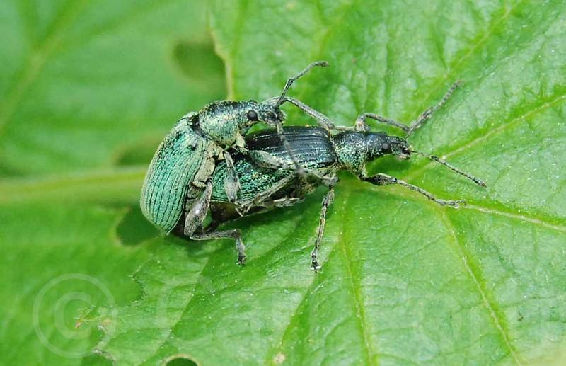 Weevils mating.jpg
