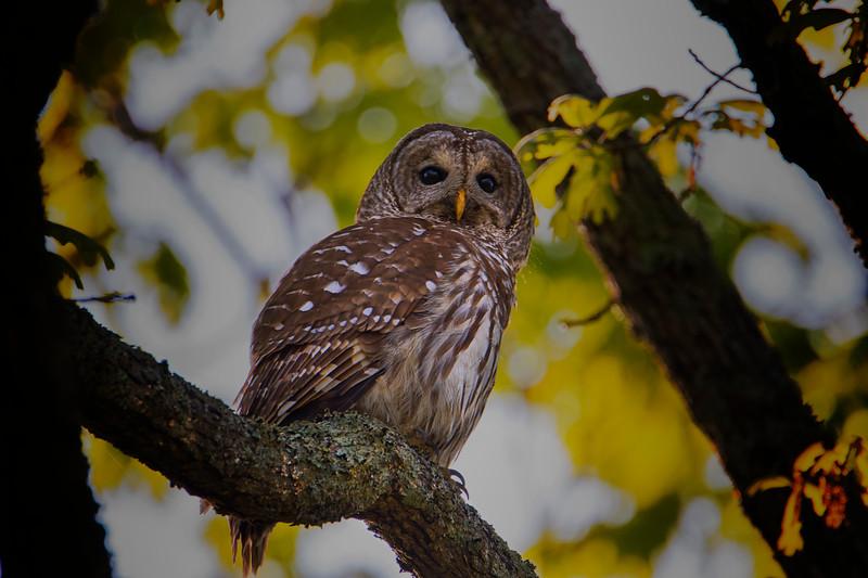 5.5.18 - Blackburn Creek Fish Nursery: Barred Owl