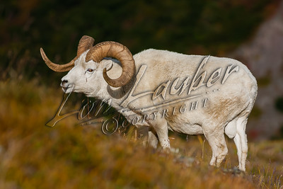 32702 Dall sheep