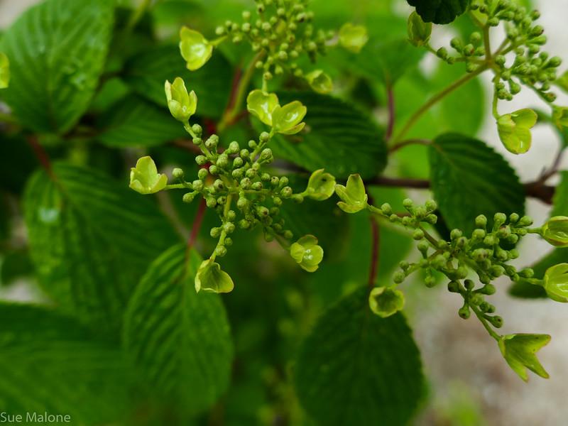 Viburnum plicata, doublefile viburnum