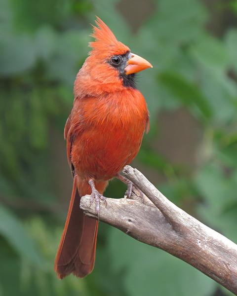 sx50_cardinal_boas_762.jpg