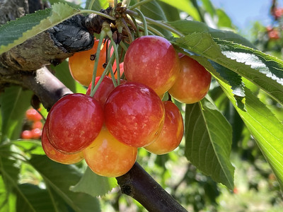 2021-06-18 Walla Walla Fruit