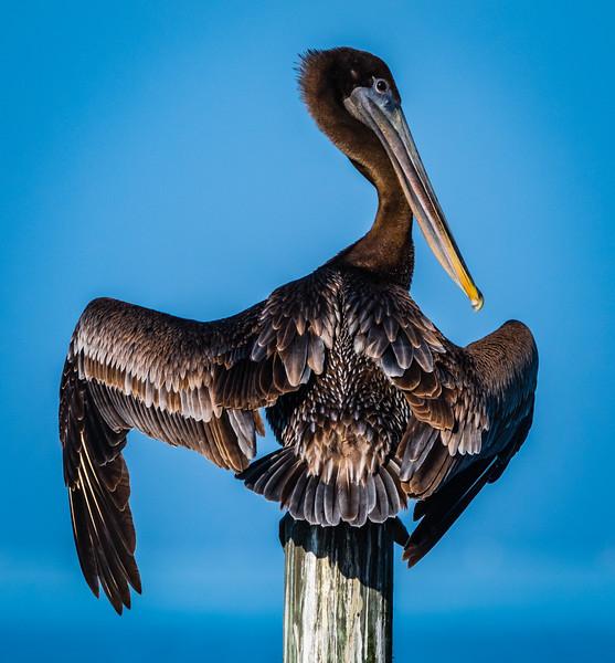 Pelican wing spread 120217.jpg