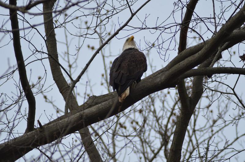 ryle-irwin-bald-eagle-conowingo-dam.JPG