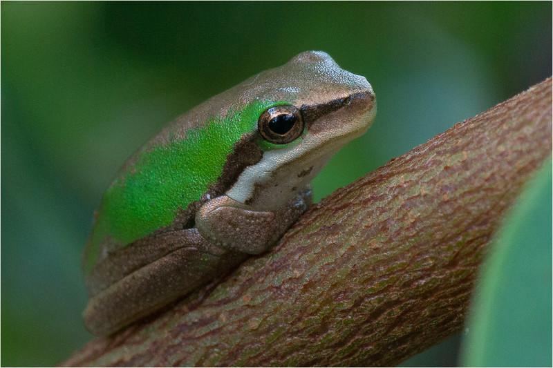 Eastern Swarf Tree Frog 09