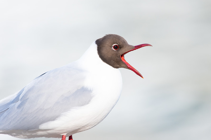 Black headed gull , Skrattmås