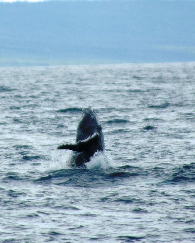 whale turn around.JPG