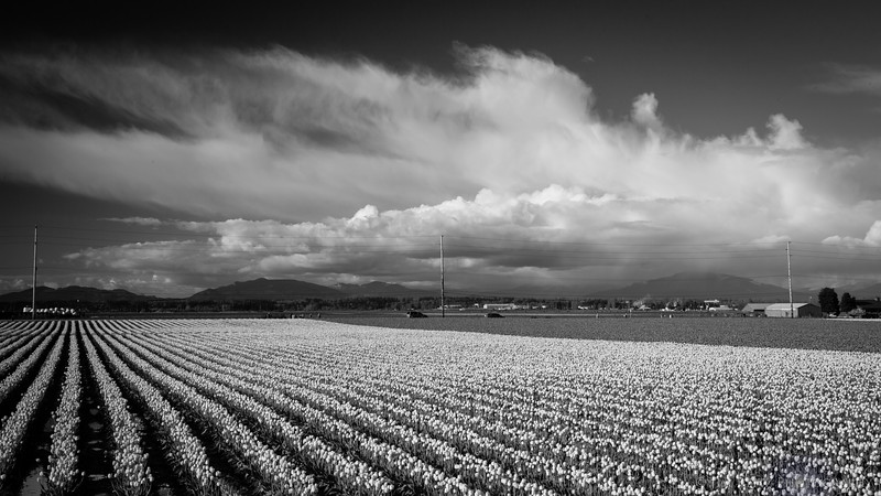 Fields and clouds - Skagit Valley Tulip Festival