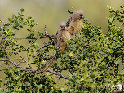 A pair of Mousebirds