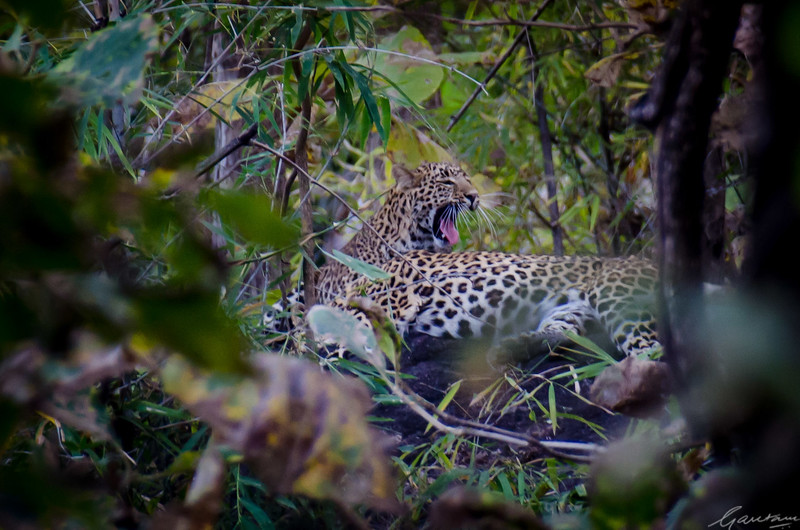 Leopards, Pench National Park