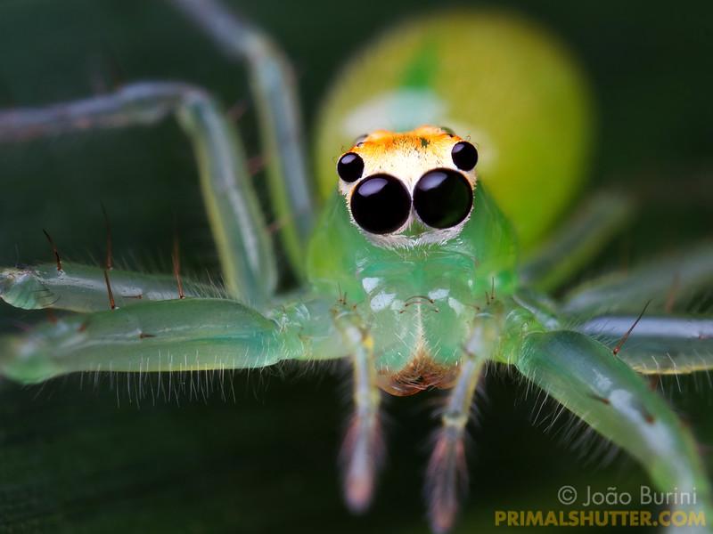 Frontal portrait of a green jumping spider with huge eyes