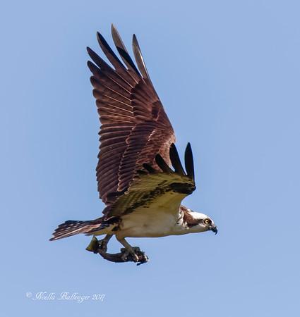 THE BIRDS OF NEWFOUNDLAND
