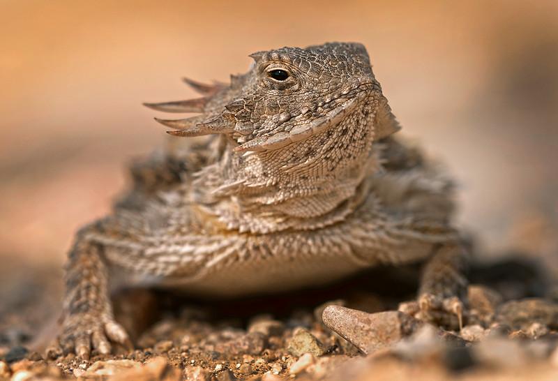 Horned Lizard OPTO