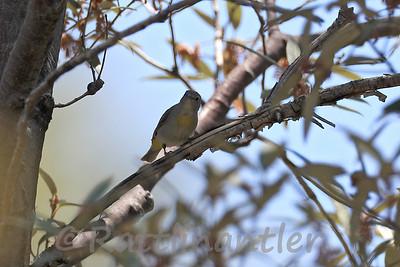 Virginia's Warblers