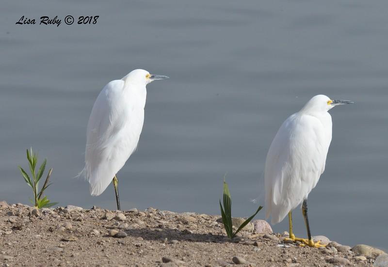 Snowy Egrets  - 11/4/2018 - Santee Lakes