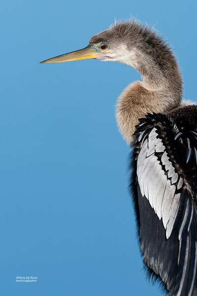 Anhinga, f, Circle B Bar, Lakeland, FL, USA, May 2018-1.jpg