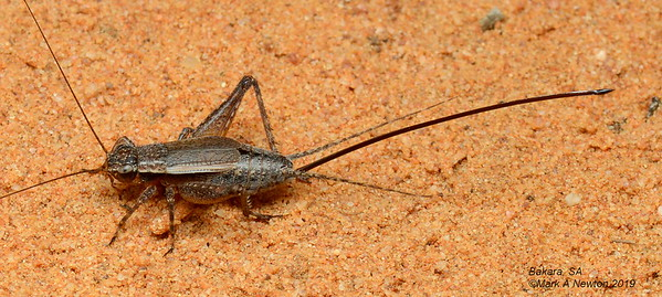 Crickets (Gryllidae)