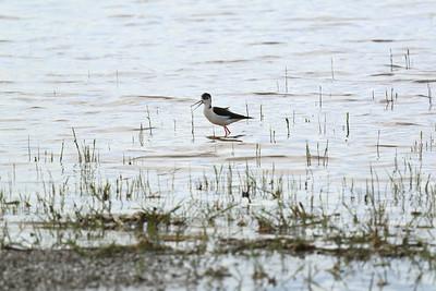 Wading Birds of Mórahalom — Mórahalom gázlómadarai