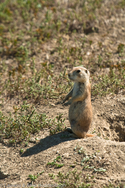 Prairie Dog in Theodore Roosevelt Nat'l Park, ND  Filename: CEM009259-TRNP-ND-USA.jpg