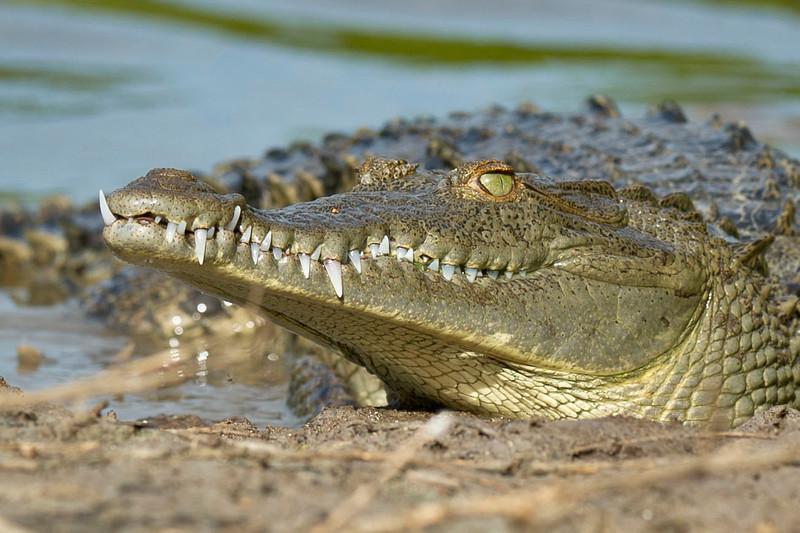 American Crocodile Eco Pond, Flamingo, Everglades National Park Florida © 2012