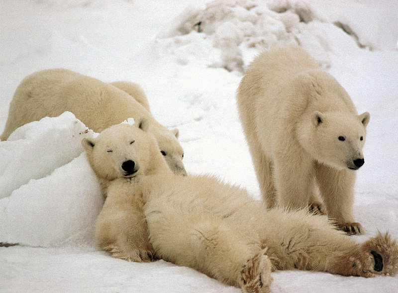 sleeping polar bear.jpg