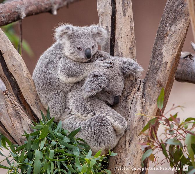 Koalafornia-4.jpg