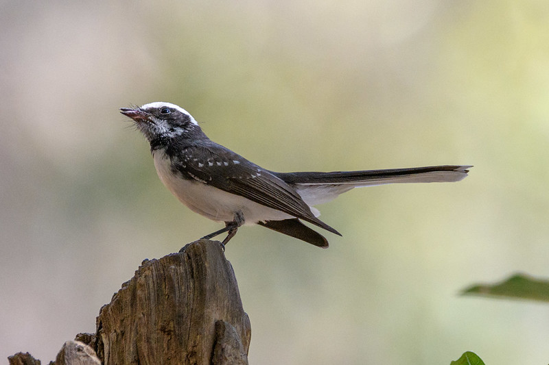 A White-browed Fantail with prey in Ranthambhore NP, India